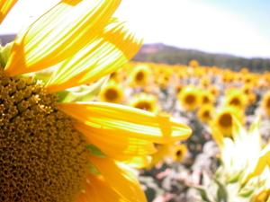 Sunflower_istock_000000106302xsmall